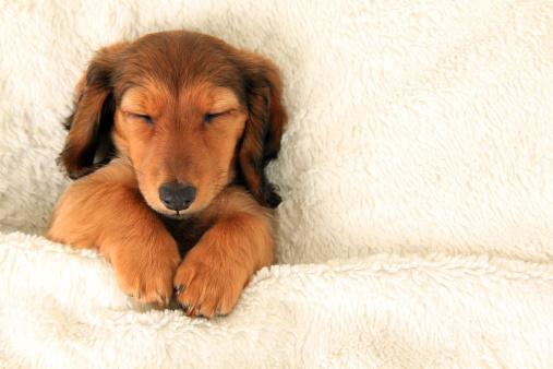 Dachshund puppy 479081211
