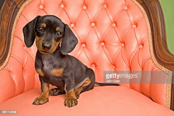 dachshund puppy - dachshund stock pictures, royalty-free photos & images