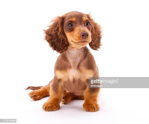 dachshund puppy sitting down - dachshund stock pictures, royalty-free photos & images
