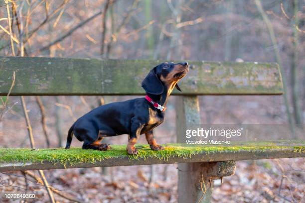 dachshund puppy sitting on the bench - teckel stock photos and pictures