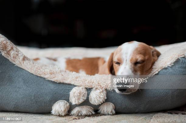 dachshund puppy sleeping cozy at home in his dog bed - pet bed stock pictures, royalty-free photos & images