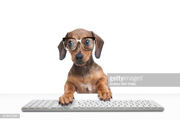 Dachshund puppy using computer keyboard
