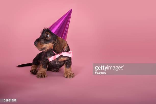dachshund puppy wearing a party hat - gorro de fiesta fotografías e imágenes de stock
