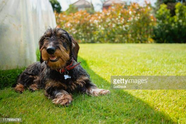 dachshund relaxing in the shade of a garden - shade stock pictures, royalty-free photos & images
