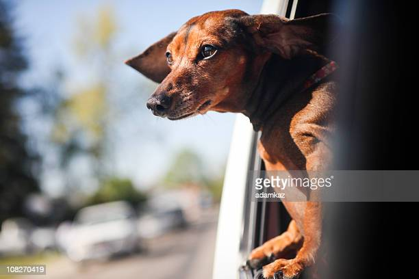 dachshund ride - dachshund stock pictures, royalty-free photos & images