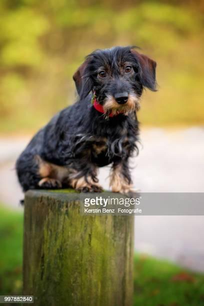dachshund sight