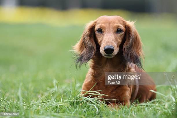 Dachshund sitting on green grass