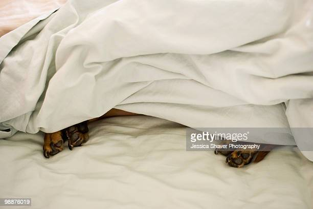 Dachshund sleeping under the sheets