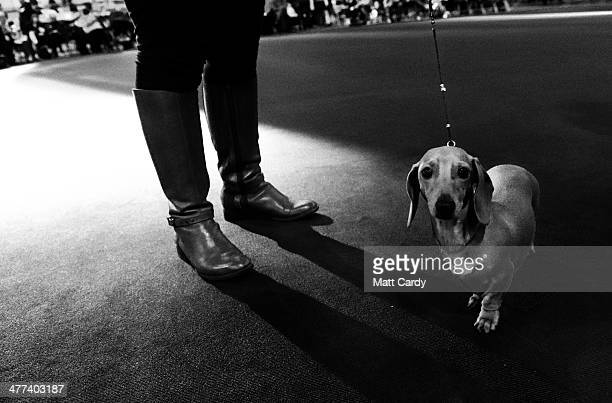 A dachshund stands with its owner as it is is judged in a show ring on the second day of the Crufts dog show at the NEC on March 7 2014 in Birmingham...