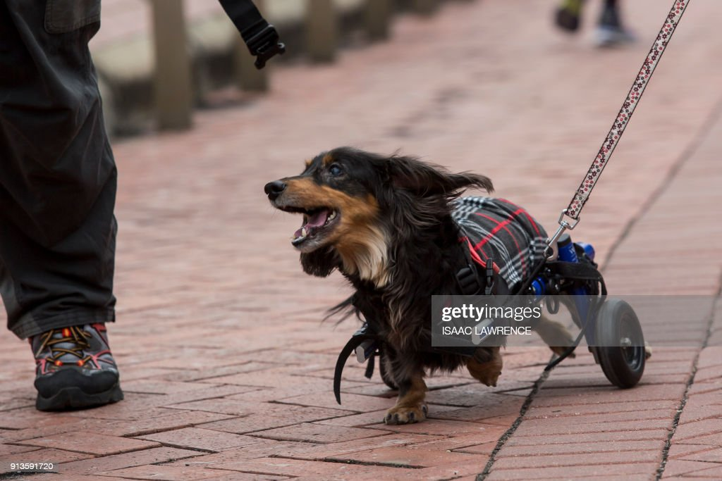 TOPSHOT - A dachshund that requires wheels to assist it to walk takes part in the city's first 'Sausage Walk' in Hong Kong on February 3, 2018. In a city that likes to dress up its dogs, 50 dachshunds gathered in Hong Kong on February 3 wearing everything from patterned winter jumpers to dapper tweed. /