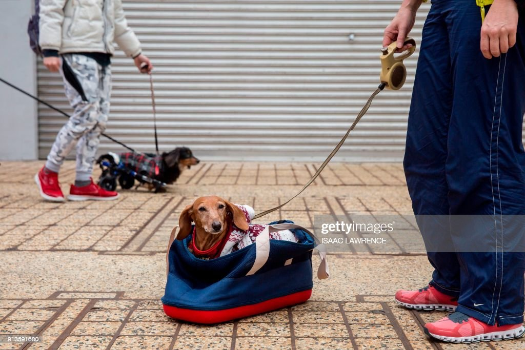 A dachshund waits in a bag before taking part in the city's first 'Sausage Walk' in Hong Kong on February 3, 2018. In a city that likes to dress up its dogs, 50 dachshunds gathered in Hong Kong on February 3 wearing everything from patterned winter jumpers to dapper tweed. /
