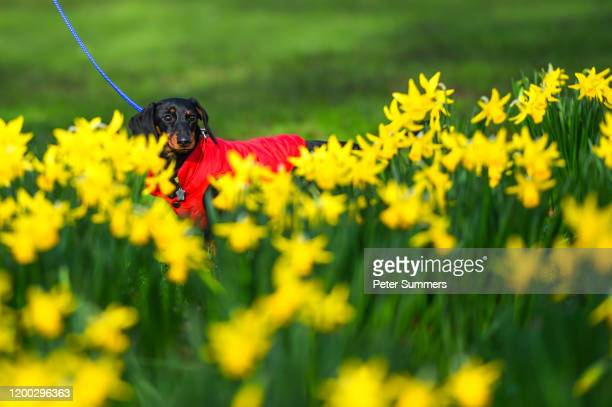 A dachshund walks through daffodils on a sunny day in St James' Park on February 12 2020 in London England High winds rain and snow from Storm Ciara...