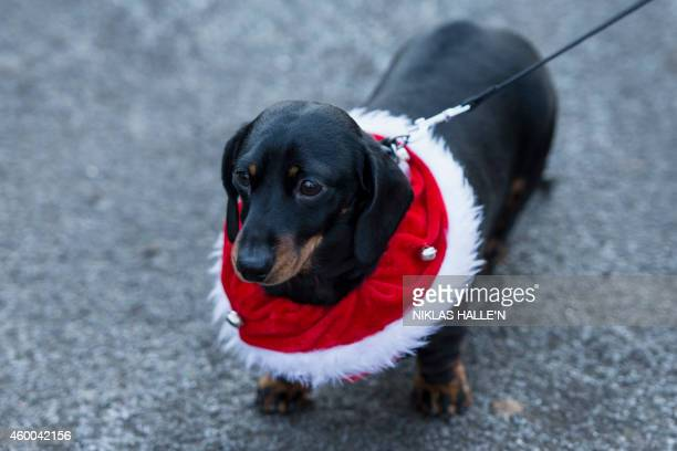 A dachshund wearing a Christmas collar looks on as charity runners dressed as Father Christmas participate in a 'Santa Run' charity fun run in...