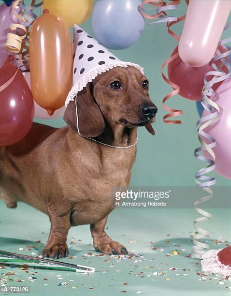Dachshund Wearing Party Hat With Polka Dots Balloons Streamers Confetti.