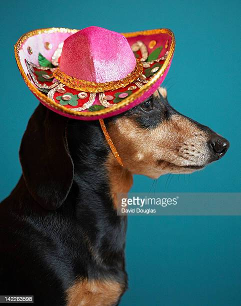 Dachshund wearing pink sombrero on blue background
