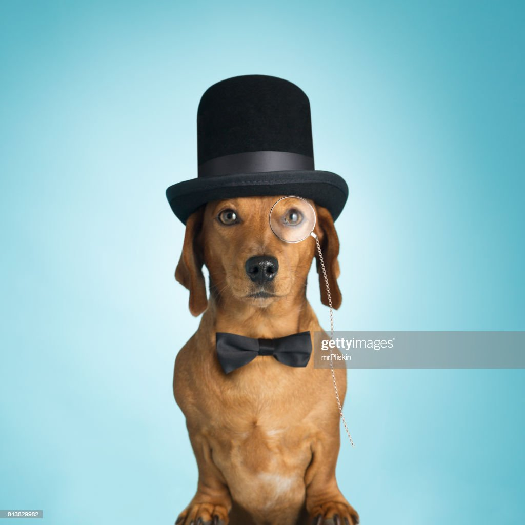Dachshund wearing top hat and monacle : Stock Photo