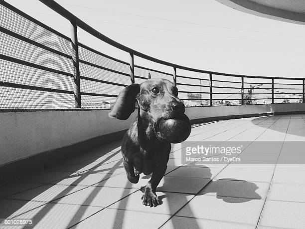 Dachshund With Ball Walking In Balcony Against Clear Sky