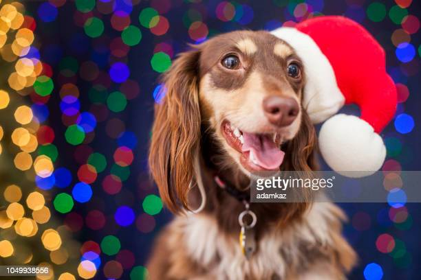 dachshund with santa hat and christmas lights - dachshund holiday stock pictures, royalty-free photos & images