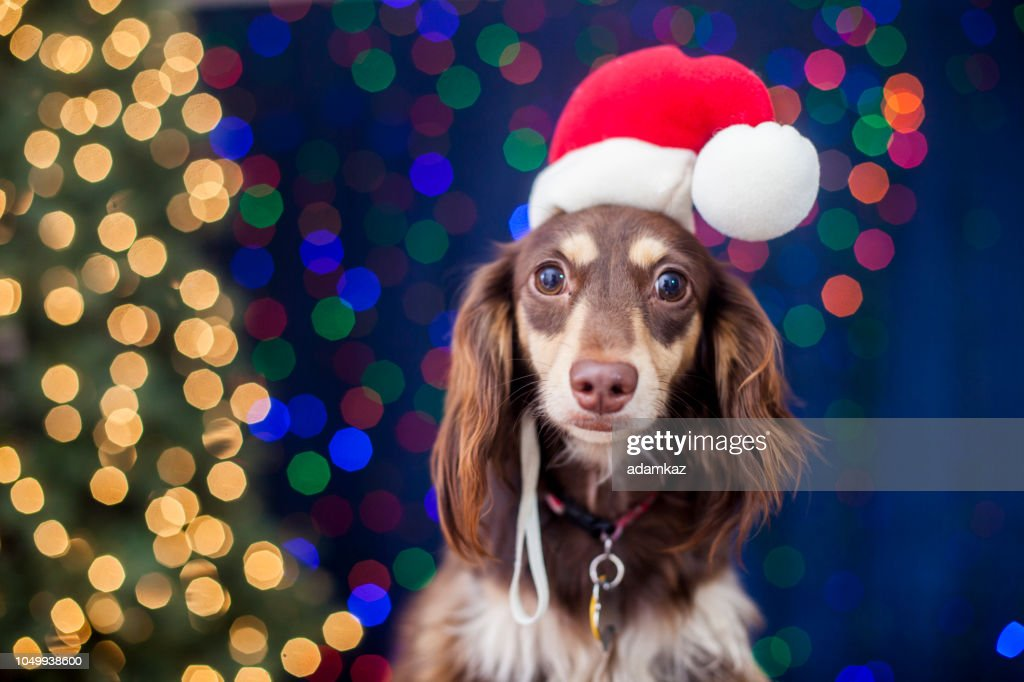Dachshund with Santa Hat and Christmas Lights : Stock Photo