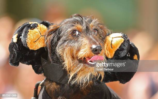 A dachshund with three heads competes in The Best Dressed Dachshund Costume Competition during the annual Teckelrennen Hophaus Dachshund Race on...