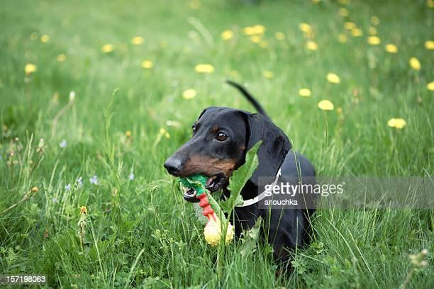 Dackel mit Spielzeug im Gras