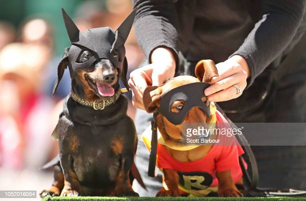 Dachshunds dressed as Batman and Robin compete in The Best Dressed Dachshund Costume Competition during the annual Teckelrennen Hophaus Dachshund...