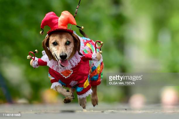 TOPSHOT A dachshunds is dressed in an outfit as it is shown off during the eighth annual Dachshunds Parade in Saint Petersburg on May 25 2019