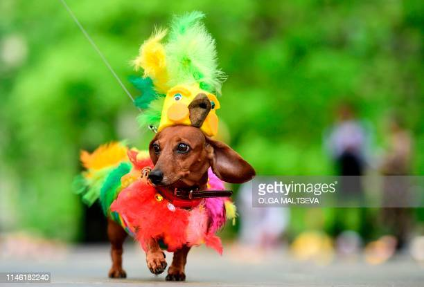 A dachshunds is dressed in an outfit as it is shown off during the eighth annual Dachshunds Parade in Saint Petersburg on May 25 2019