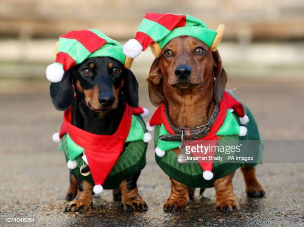 Dachshunds Noodle and Shnitzel take part in a sausage dog festive walk in Hyde Park, London.