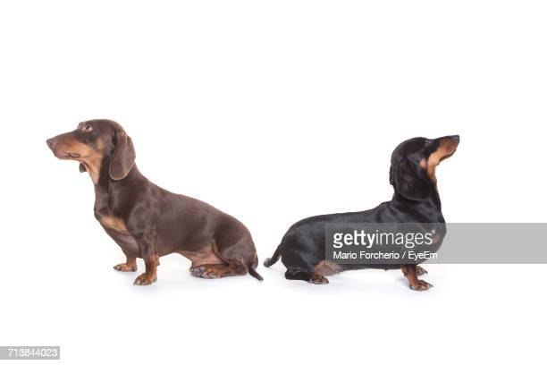 Dachshunds Sitting On White Background