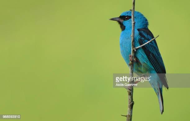 dacnis cayana - blue cardinal bird stock photos and pictures