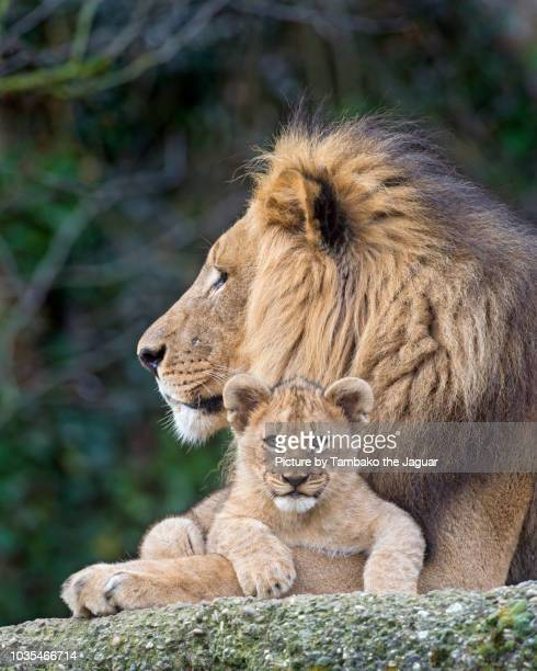 dad lion with son - animal family stock pictures, royalty-free photos & images