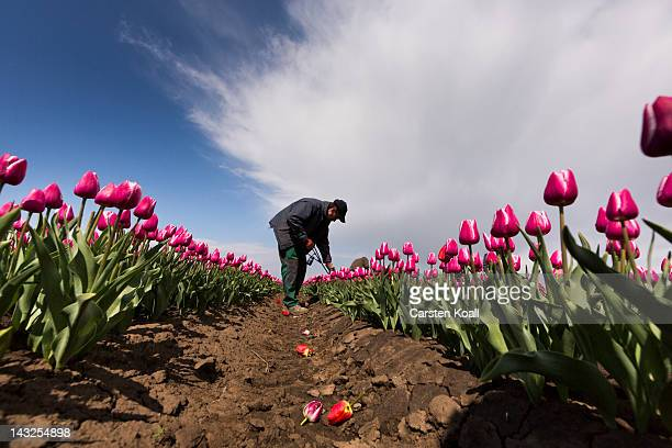 Dadeusz Szczypkowski selects off color tulips in a blossoming tulip field on April 22 2012 in Schwaneberg near Magdeburg Germany Following the...