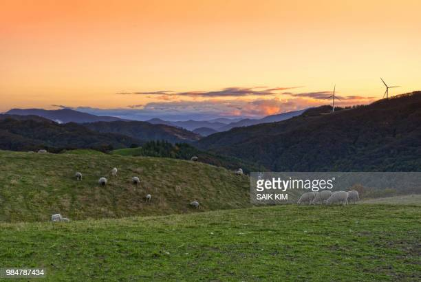daegwallyeong ranch - gangwon province stock pictures, royalty-free photos & images