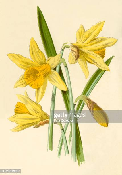 'Daffodil' 1877 Daffodil a perennial bulb Many cases of poisoning or death have occurred when narcissi bulbs have been mistaken for leeks or onions...
