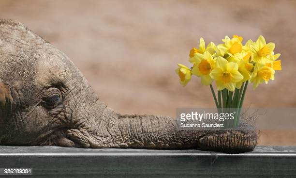 daffodil admirer - animal nose stock pictures, royalty-free photos & images