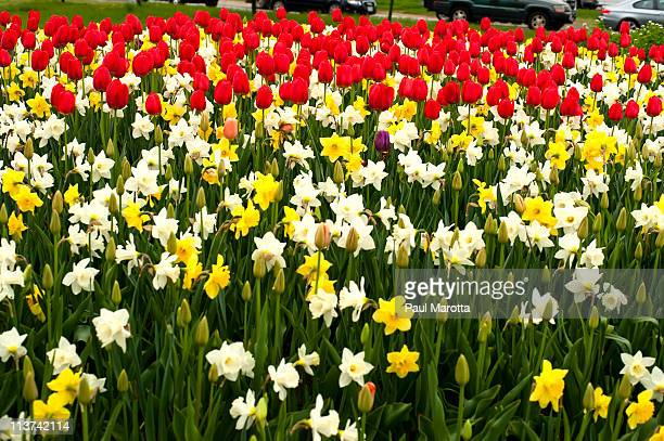 daffodil and tulip field - tulips and daffodils stock pictures, royalty-free photos & images