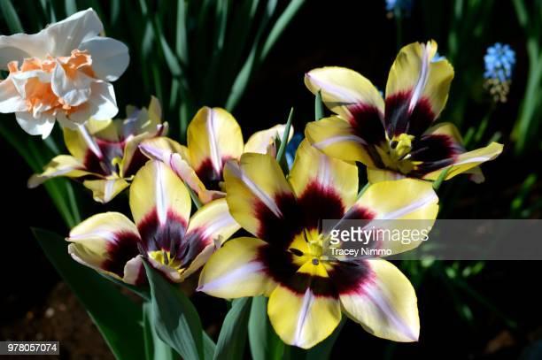 daffodil and tulips - jade nimmo - fotografias e filmes do acervo