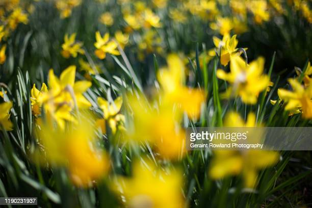 daffodil art in wales - llandudno wales stock pictures, royalty-free photos & images