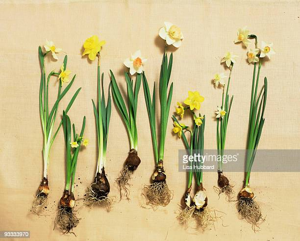 daffodil blooms and bulbs - daffodils stock photos and pictures