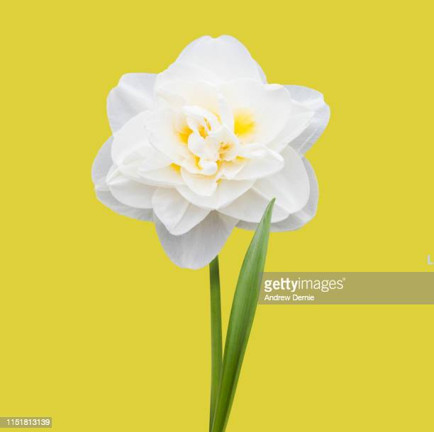 daffodil blooms - andrew dernie stock pictures, royalty-free photos & images