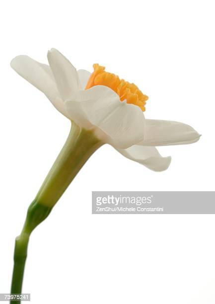 Daffodil, close-up