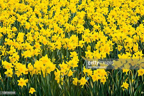 daffodil field. skagit valley, washington. usa - field of daffodils stock pictures, royalty-free photos & images