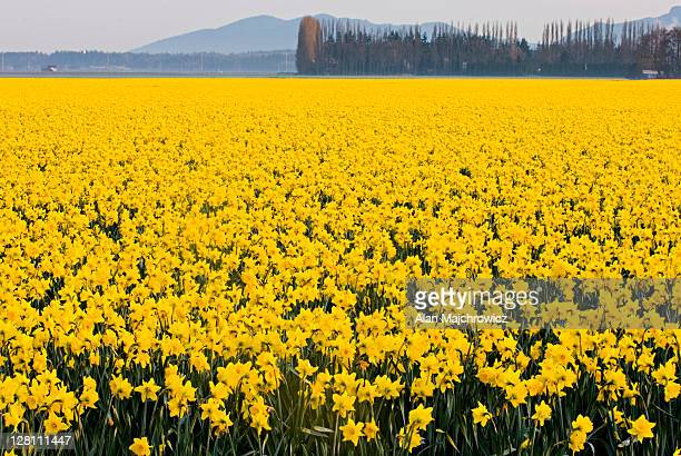 daffodil fields, skagit valley, washington, usa - field of daffodils stock pictures, royalty-free photos & images