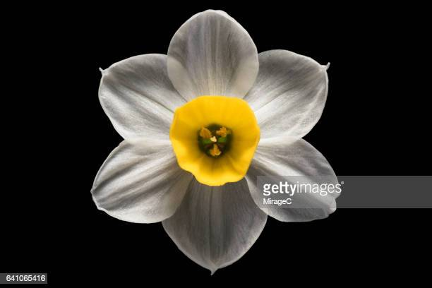 daffodil flower black background - daffodils stock photos and pictures
