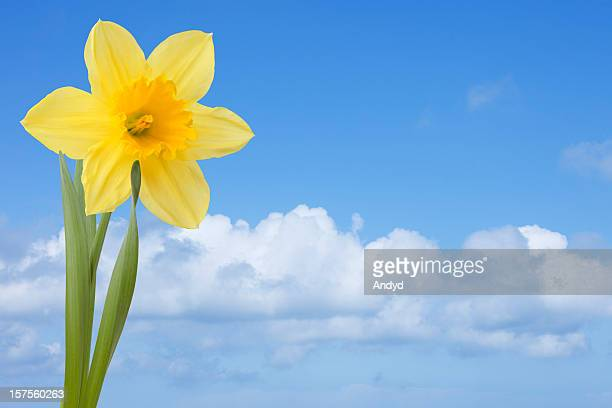 daffodil in spring - daffodils stock photos and pictures