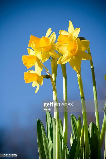 Daffodil in sunshine