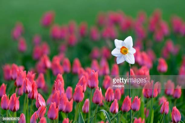 Daffodil (Narcissus poeticus recurvus) in the Tulips bed between (Tulipa), North Rhine-Westphalia, Germany