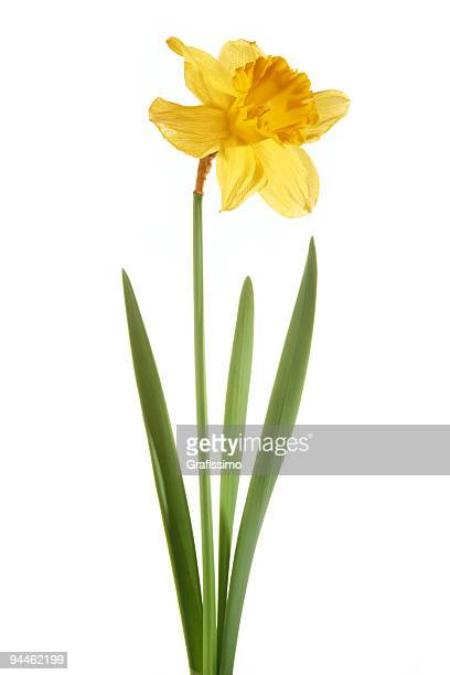 daffodil isolated on white background - daffodil stock pictures, royalty-free photos & images