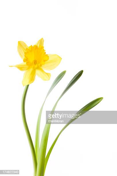 daffodil isolated on white - daffodils stock photos and pictures
